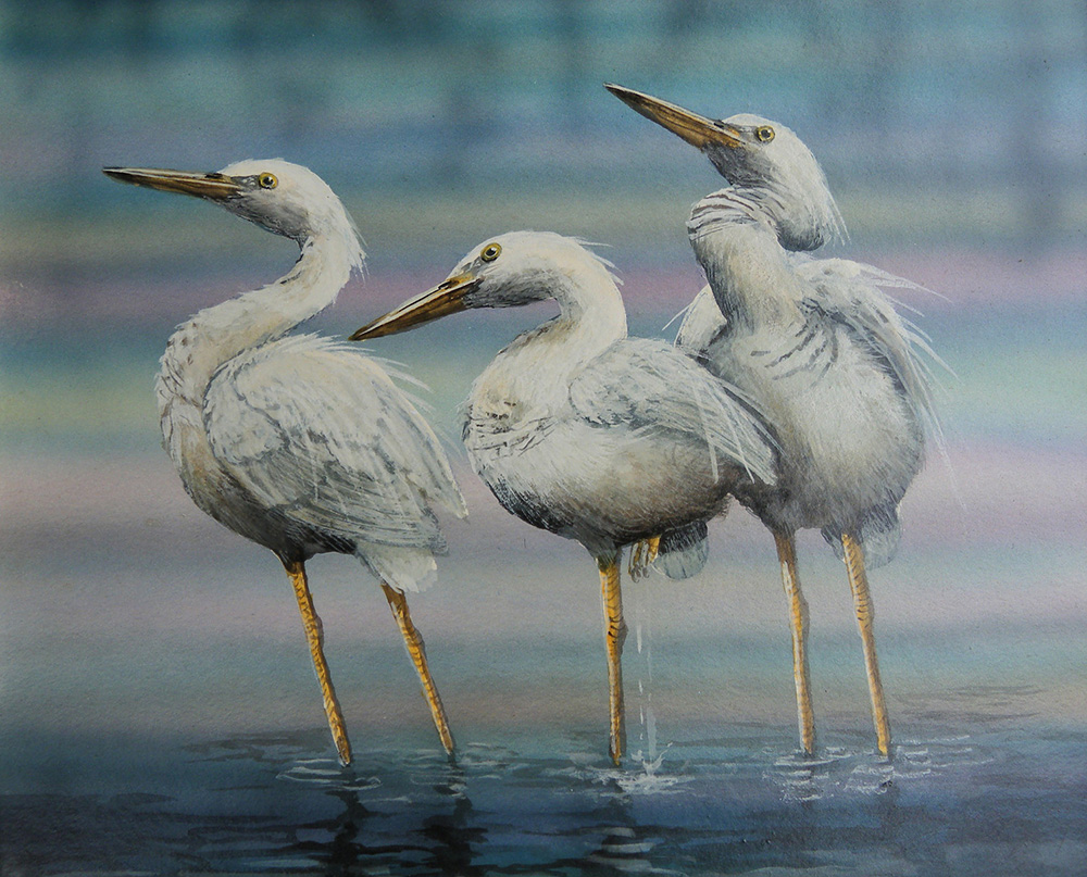 Aus Little Egrets